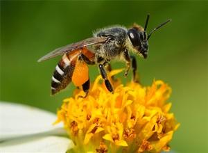 bijen en wespen het verschil tussen bijen en wespen. Black Bedroom Furniture Sets. Home Design Ideas